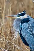 Great Blue Heron, Ardea herodias, Chincoteague National Wildlife Refuge, Virginia, Chincoteague, Delmarva Peninsula, Eastern Shore, Chincoteague Island, Chincoteague Is., USA,  birds, Ardeidae; HeronGB15762_P2.jpg