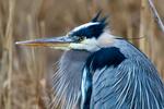 Great Blue Heron, Ardea herodias, Chincoteague National Wildlife Refuge, Virginia, Chincoteague, Delmarva Peninsula, Eastern Shore, Chincoteague Island, Chincoteague Is., USA,  birds, Ardeidae; HeronGB15802P2hs1eee.tif