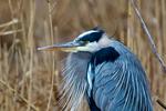 Great Blue Heron, Ardea herodias, Chincoteague National Wildlife Refuge, Virginia, Chincoteague, Delmarva Peninsula, Eastern Shore, Chincoteague Island, Chincoteague Is., USA,  birds, Ardeidae; HeronGB15820_P2.jpg