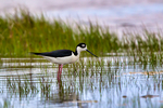 Black-necked Stilt, Himantopus mexicanus, rare nester in Virginia but regular nesting in mareshes of Chincoteague causeway; large shorebird, thin red legs, gregarious; Chincoteague National Wildlife Refuge, Virginia, Chincoteague, Delmarva Peninsula, Eastern Shore, Chincoteague Island, Chincoteague Is., USA,  StiltBN5833s2.tif