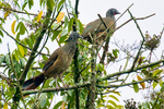 Colombian Chachalaca Ortalis columbiana. Endemic to Colombia, as its name would suggest, and the only chachalaca within its now relatively limited range in the central (Cauca and Magdalena) valleys of the country, La Romero Reserve, Sabaneta Village, Medellin Mountains, Columbia, South America; ChachalacaC09326Pzhs1se.tif