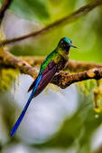 violet-tailed sylph, Aglaiocercus coelestis, is a species of hummingbird. It is found in Colombia and Ecuador. Tandayapa Bird Lodge, cloud forest; neotropical,Tandayapa Valley, Ecuador, South America; @fiile@