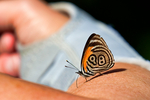 """89'98 butterfly, Diaethria phlogea. The 89'98 butterfly, is a species of butterfly of the family Nymphalidae. It is found in Colombia, South America. It has been given the nickname """"89/98"""" because of the markings on its wing resemble an 89 and 98. Some authors consider it to be a subspecies of Diaethria euclides as Diaethria euclides phlogea.La Romero Reserve, Medellin Mountains, Columbia, South America; Butterfly103620Ph.tif"""