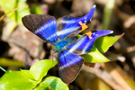 Dyson's tailed beautymark, Dyson's Blue Doctor, Rhetus dysonii caligosus, Dyson's beautymark, Andean beautymark; Metalmarks, Riodnidae; Butterflies in the genus Rhetus are noted for their short palpi, and for having a beautiful blue sheen across the upper surface of the wings. Only males have the metallic blue scales - females are banded with pure white. Rhetus dysonii occurs in Panama, Colombia, Ecuador, Peru, Brazil and Bolivia. La Romero Reserve, Medellin Mountains, Sabaneta Village, Columbia, South America; BeautymarkD4129Pzhs.jpg