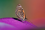 """89'98 butterfly, Diaethria phlogea. The 89'98 butterfly, is a species of butterfly of the family Nymphalidae. It is found in Colombia, South America. It has been given the nickname """"89/98"""" because of the markings on its wing resemble an 89 and 98. Some authors consider it to be a subspecies of Diaethria euclides as Diaethria euclides phlogea.La Romero Reserve, Medellin Mountains, Colombia, Columbia, South America; Butterfly103668_P.jpg"""