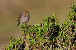 Many-striped Canastero, Asthenes flammulata, is a species of bird in the Furnariidae family. Los Nevados National Park, Nevado del Ruiz, paramo, central Andes, high altitude paramo,  Termales del Ruiz, Colombia, Columbia, South America; CanasteroMs69996Psh1se.tif