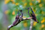Buff-tailed Coronet, Boissonneaua flavescens, hummingbird, Trochilidae;  Rio Blanco Natural Reserve is one of the most famous places in Colombia to view birds; consist mainly of montane wet forest or cloud forest; Colombia, South America; CoronetBtetBt99068_P.tiff