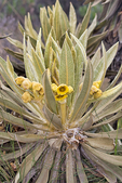 Agave-leaved Frailejones, Espeletia grandiflora, Frailejones, Espeletia, Senecio; {Senecio grandiflora}; Andes endemic paramo plant with large rabit ear white fuzzy leaves and yellow sunflower like flowers. The species comes from the páramo of Colombia and Ecuador, a high-altitude tundra zone found at about 10,000 to 15,000 feet (3100 to 4600 m) of altitude in the Andes, a climate where it is cold at night all year long and rarely more than chilly during the day. If the plant is completely covered with white hairs, that's partly to protect it from the cold, but also to filter out excess sunlight, because it usually grows above the clouds, fully exposed to harmful UV rays. The trunk is thick, with succulent hairy leaves disposed in a dense spiral pattern. Marcescent leaves help protect the plants from cold. Los Nevados National Park, Nevado del Ruiz, paramo, central Andes, high altitude paramo, Termales del Ruiz, Colombia, South America; Espeletia89152_P.tiff