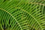 fern, Pteridophyte, Pterodophyta; Rio Claro Reserve, Cabanas la Mulata, Colombia, South America; Fern102590_P.tiff