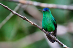Indigo-capped hummingbird, Amazilia cyanifrons, endemic Colombia; endemic Andes of Colombia; Enchanted Garden, has 40 or more feeders and up to 16 species of hummingbirds with up to 300 individuals can be present at any moment; Twenty-seven hummingbird species have been recorded at this site; town of San Francisco; Bogata; Colombia, South America; HummingbirdIC90794ph.tif