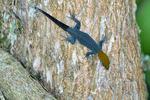 Lizard, Rio Claro Reserve, Cabanas la Mulata, Colombia, South America; Lizard80083_P1_5.jpg