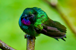 Tourmaline Sunangel, Heliangelus exortis; hummingbird; Rio Blanco Natural Reserve is one of the most famous places in Colombia to view birds; consist mainly of montane wet forest or cloud forest; Range Colombia and Ecuador; Colombia, South America; SunangelT98936_P.tiff