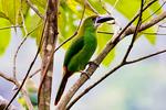 Greyish-throated Toucanet, Aulacorhynchus albivitta, La Romero Reserve, Sabaneta Village, Medellin Mountains, Colombia, South America; ToucanetGT100171Pzhszzz.jpg