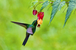 Tourmaline Sunangel, Heliangelus exortis; hummingbird; Rio Blanco Natural Reserve is one of the most famous places in Colombia to view birds; consist mainly of montane wet forest or cloud forest; Range Colombia and Ecuador; Colombia, South America; SunangelT56675_Ps2.jpg