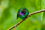 Tourmaline Sunangel, Heliangelus exortis; hummingbird; Rio Blanco Natural Reserve is one of the most famous places in Colombia to view birds; consist mainly of montane wet forest or cloud forest; Range Colombiaand Ecuador; Colombia, South America; SunangelT56700_Ps2.jpg