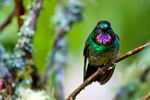 Tourmaline Sunangel, Heliangelus exortis; hummingbird; Rio Blanco Natural Reserve is one of the most famous places in Colombia to view birds; consist mainly of montane wet forest or cloud forest; Range Colombia and Ecuador; Colombia, South America; SunangelT56999Pnzhs.tif