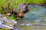 Wild Turkey, Meleagaris gallopavo, Great Smoky Mountain National Park, Cades Cove, Tenessee TN, Appalachian Mountains, TurkeyW35284nsz4e.tif