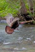 Wild Turkey, Meleagaris gallopavo, Great Smoky Mountain National Park, Cades Cove, Tenessee TN, Appalachian Mountains, TurkeyW35307zsehUSE.tif