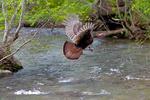 Wild Turkey, Meleagaris gallopavo, Great Smoky Mountain National Park, Cades Cove, Tenessee TN, Appalachian Mountains, TurkeyW35307zseUSE.tif