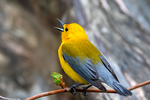 """Prothonotary Warbler, Protonotaria citrea Protonotaria citrea, Golden Swamp Warbler, striking, large warbler, small songbird, loud, ringing """"tweet, tweet, tweet, tweet"""" all on one pitch, one of only two warblers that breed and nest in tree hollows, """"Prothonotary"""" refers to robes of clerks in Catholic church, endangered bird in Canada; Magee Marsh Wildlife Area, Magee Marsh, Crane Creek, Black Swamp Bird Observatory, Oak Harbor,  Ohio, USA; WarblerP48615zhs.tif"""