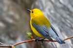 """Prothonotary Warbler, Protonotaria citrea Protonotaria citrea, Golden Swamp Warbler, striking, large warbler, small songbird, loud, ringing """"tweet, tweet, tweet, tweet"""" all on one pitch, one of only two warblers that breed and nest in tree hollows, """"Prothonotary"""" refers to robes of clerks in Catholic church, endangered bird in Canada; Magee Marsh Wildlife Area, Magee Marsh, Crane Creek, Black Swamp Bird Observatory, Oak Harbor,  Ohio, USA; WarblerP48620czhs.tif"""