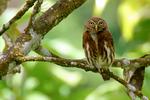 Ferruginous Pygmy Owl, Glaucidium brasilianum; northern range, Blanchieuse Road, Trinidad, Caribbean; OwlFP3398czhs_PP.jpg