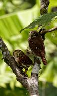 Ferruginous Pygmy Owl, Glaucidium brasilianum; northern range, Blanchieuse Road, Trinidad, Caribbean; OwlFP3466Nhs.jpg