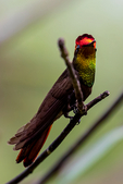 Ruby-topaz Hummingbird, Chrysolampis mosquitus, One of the most spectacular beautiful hummingbirds. irridescent structural color; Adventure Farm and Nature Reserve, Tobago, Caribbean; TopazR7197zvsv.tif