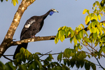 Trinidad Piping Guan,  Pipile pipile, locally known as the pawi, is a bird in the chachalaca, guan and curassow family Cracidae, endemic to the island of Trinidad. Endangered with only about 250 birds left.  Mt Plaisir Estate is the only true Beach Hotel in Trinidad. Located on Grande Riviere Bay along the Caribbean Northeast Coast, it hosts one of the largest colonies of the endangered leatherback turtles, the biggest sea turtles which annually nest here by the thousands between March and August. Trinidad, Caribbean; GuanTP3002zhs.tif