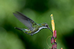 Black-throated Mango, Anthracothorax nigricollis, female, is mostly a South American hummingbird species, although it also occurs in the southern regions of Central America. Cuffie River Nature Retreat, a romantic and secluded tropical rainforest and exotic birding resort located at the edge of Tobago´s main ridge - the oldest protected tropical rainforest in the western hemisphere. Scarborough, Tobago, Caribbean; MangoBt14_Dh.tif