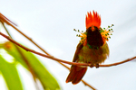 Tufted Coquette, Lophornis ornatus, hummingbird, Asa Wright Nature Centre, Comprising nearly 1,500 acres of mainly forested land in the Arima and Aripo Valleys of the Northern Range, the AWNC's properties will be retained under forest cover in perpetuity, to protect the community watershed and provide important wildlife habitat. located on a former cocoa-coffee-citrus plantation, previously known as the Spring Hill Estate. This estate has now been partly reclaimed by secondary forest, surrounded by impressive rainforest, where some original climax forest on the steeper slopes have a canopy of 100-150 feet. Trinidad, Caribbean; CoquetteT9017zhzes.tif
