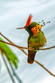 Tufted Coquette, Lophornis ornatus, hummingbird, Asa Wright Nature Centre, Comprising nearly 1,500 acres of mainly forested land in the Arima and Aripo Valleys of the Northern Range, the AWNC's properties will be retained under forest cover in perpetuity, to protect the community watershed and provide important wildlife habitat. located on a former cocoa-coffee-citrus plantation, previously known as the Spring Hill Estate. This estate has now been partly reclaimed by secondary forest, surrounded by impressive rainforest, where some original climax forest on the steeper slopes have a canopy of 100-150 feet. Trinidad, Caribbean; CoquetteT9023-1zu2zv1nesbb1.tif