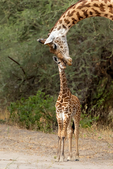 Masai giraffe, Giraffa camelopardalis tippelskirchi, ruminant, ruminants; giraffe; giraffes have 7 vertebrae in their necks as we do, tongue is 18 to 20 inches long and blue-black, tallest land animals, spend most of their day eating, acacia trees, chew their cud, male & female giraffes have distinct hair-covered horns, these horns are called ossicones}; Tarangire National Park, Tanzania, Africa, GiraffeM28583azv2s.jpg