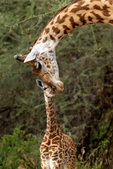 Masai giraffe, Giraffa camelopardalis tippelskirchi, ruminant, ruminants; giraffe; giraffes have 7 vertebrae in their necks as we do, tongue is 18 to 20 inches long and blue-black, tallest land animals, spend most of their day eating, acacia trees, chew their cud, male & female giraffes have distinct hair-covered horns, these horns are called ossicones}; Tarangire National Park, Tanzania, Africa, GiraffeM28583azvs.jpg