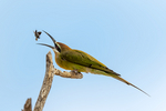 Olive Bee-eater or Madagascar bee-eater, Merops superciliosus; with eating a bee; Tarangire National Park, Tanzania, Africa, BeeaterO23548anhzs3.tif