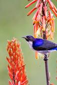 Eastern Violet-backed Sunbird, Kenya Sunbird, Anthreptes orientalis; Tarangire Osupuko Lodge, Tarangire National Park, Tanzania, Africa, SunbirdEVB24930_P.tiff