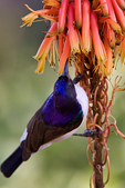 Eastern Violet-backed Sunbird, Kenya Sunbird, Anthreptes orientalis; Tarangire Osupuko Lodge, Tarangire National Park, Tanzania, Africa, SunbirdEVB25777_P.tiff