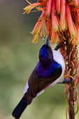 Eastern Violet-backed Sunbird, Kenya Sunbird, Anthreptes orientalis; Tarangire Osupuko Lodge, Tarangire National Park, Tanzania, Africa, SunbirdEVB25783_P.tiff