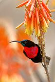 Scarlet-chested Sunbird, Chalcomitra senegalensis; convergent evolution with tubular plants; compare with new world hummingbirds, coevolution; Tarangire Osupuko Lodge, Tarangire National Park, Tanzania, Africa, SunbirdSC25003cnvzs.tif