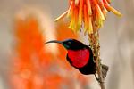 Scarlet-chested Sunbird, Chalcomitra senegalensis; convergent evolution with tubular plants; compare with new world hummingbirds, coevolution; Tarangire Osupuko Lodge, Tarangire National Park, Tanzania, Africa, SunbirdSC25003czhgs.tif