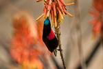 Scarlet-chested Sunbird, Chalcomitra senegalensis; convergent evolution with tubular plants; compare with new world hummingbirds, coevolution; Tarangire Osupuko Lodge, Tarangire National Park, Tanzania, Africa, SunbirdSC25009_P.tiff