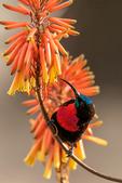 Scarlet-chested Sunbird, Chalcomitra senegalensis; convergent evolution with tubular plants; compare with new world hummingbirds, coevolution; Tarangire Osupuko Lodge, Tarangire National Park, Tanzania, Africa, SunbirdSC25151aznhs.tif