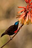 Scarlet-chested Sunbird, Chalcomitra senegalensis; convergent evolution with tubular plants; compare with new world hummingbirds, coevolution; Tarangire Osupuko Lodge, Tarangire National Park, Tanzania, Africa, SunbirdSC25412_P.tiff