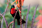Scarlet-chested Sunbird, Chalcomitra senegalensis,Nectariniidae is an old worlf family that shows convergent evolution with the new world hummingbirds; Lake Manyara National Park, Tanzania, Africa; SunbirdSc32379DDxnhs.jpg