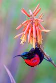 Scarlet-chested Sunbird, Chalcomitra senegalensis,Nectariniidae is an old worlf family that shows convergent evolution with the new world hummingbirds; Lake Manyara National Park, Tanzania, Africa; SunbirdSc32527DDxOvzs.jpg