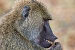 Olive Baboon, Papio Cynocephalus anubis, Papio anubis, Tarangire National Park, Tanzania, Africa, mammals {mammal}; primate; baboon, animals; wildlife {undomesticated animals}; BaboonO28273p.jpg