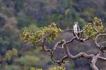 martial eagle, Polemaetus bellicosus; largest African eagle, Lake Manyara National Park, Tanzania, Africa, TZ4923_P.tiff