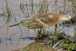 Squacco Heron, Ardeola ralloides, Lake Manyara National Park, Tanzania, Africa, HeronS26727_P.tiff