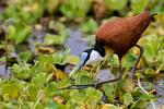 African jacana, Actophilornis africanus, Lake Manyara National Park, Tanzania, Africa, JacanaA26042_P.tiff