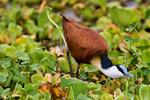 African jacana, Actophilornis africanus, Lake Manyara National Park, Tanzania, Africa, JacanaA26083_P.tiff